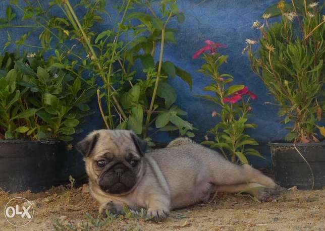 Mini pug puppies, local breed from imported parents, home raised