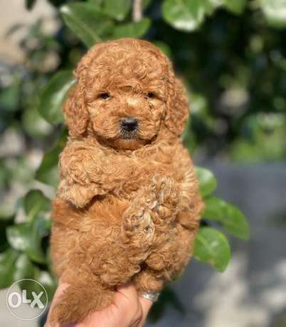 Imported Toy Poodle Male 6 weeks full documents Best price