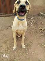 Foreign Boerboel for sale