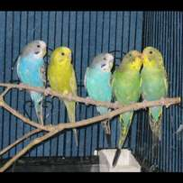 Budgies and lovebirds