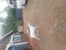 Pregnant Goat for sale
