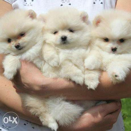 Pomeranian We are waiting for loving parents ready to love and kiss))