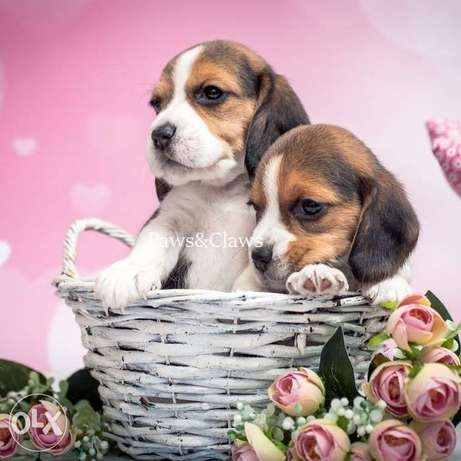 In search of a caring family, beautiful Beagle puppies.