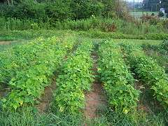 Seeds for Sale - Green Beans (25kg) Durban