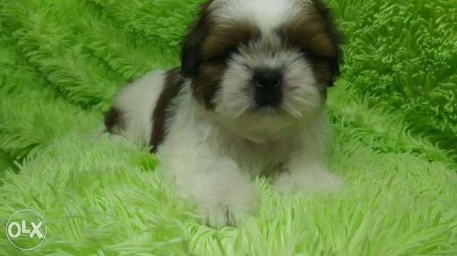 Imported Shihtzu Puppies Males From Ukraine Full Documents