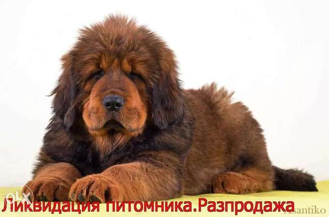 Imported tibetan mastiff puppies