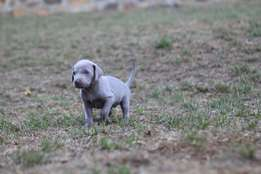Weimaraner Pups Pure and Registered Cape Town