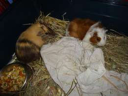 I have 2 girl guinea pigs for sale and hay,lucerne and guinea pig food