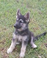 German Shepherd cross Malamute puppies