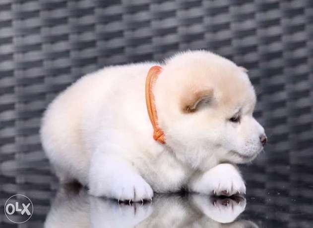 Availabile NOW Top Shiba inu puppies