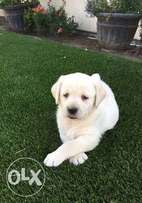 Quality pure breed pedigree golden Labrador puppies
