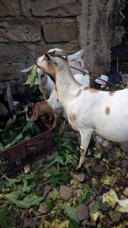 Christmas goats on offer -3 in number priced together Mwiki - image 3