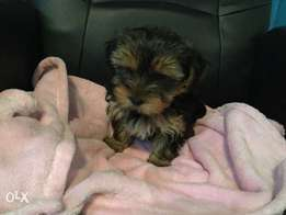Adorable Small breed Yorkies for sale