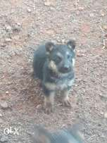 German Shepherd (Alsatian) puppies