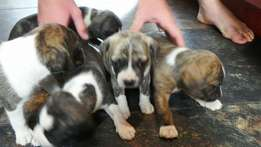 Mixed breed puppys
