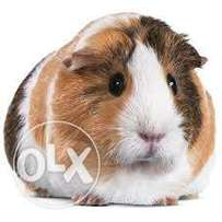 selling mature cute male and female Guinea pigs