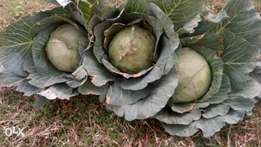 Ready Cabbages