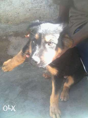 Dog for sale Ruai - image 2