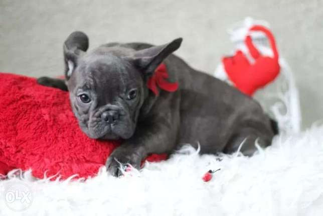 Blue French Bulldog (Frenchies)