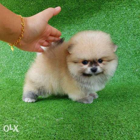 Rena - Pomeranian puppy for sale