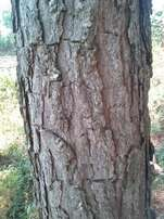 14 & 9 year old Pine trees and Eucalyptus trees for sell.