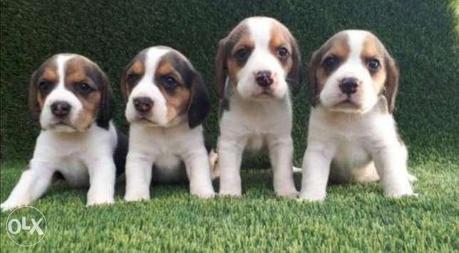 Reserve ur top quality beagle puppy, imported with all dcs