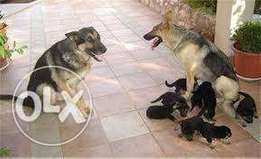 Pure breed German shepherd puppies for sale - urgently