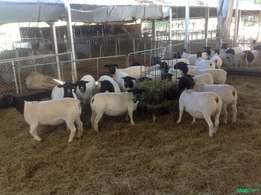 Dorper Sheep available