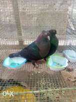 Archangels pigeon for sale