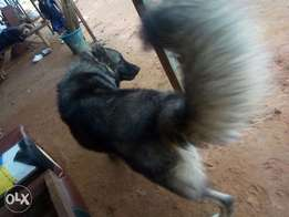 Giant male Caucasian dog for crossing