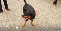 Purebred Rottweiler boxhead adult