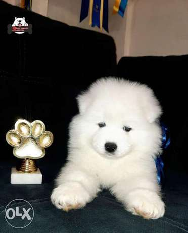 BEST imported Samoyed puppies