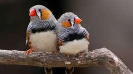 6 finches for sale