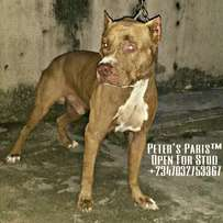 Imported Red Nose American Pit Bull Terrier Available For Stud Service
