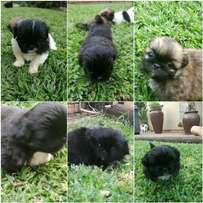 Pikenese puppies for sale