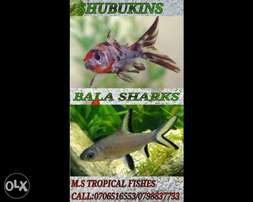 Shubukin and bala sharks