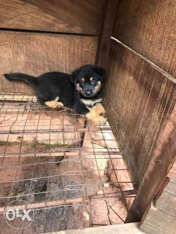 Pedigree Rottweiler puppies available Ugbowo - image 5