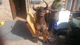 Black wildebeest female trophy for sale