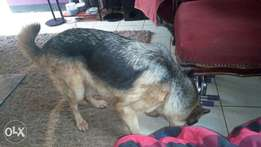 German Shepherd/female for sale. 2yrs old. Vaccinations to date