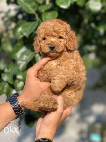 Premium quality toy poodle puppies, with all documents.. Males