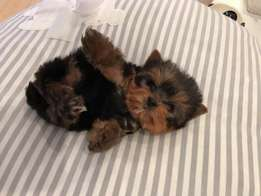 Amazing Teacup Yorkie puppies with unique baby doll faces