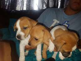 Jack Russel x Sausage Pups for Sale