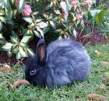 1 Beautiful black dwarf Jersey Wooly bunny for sale