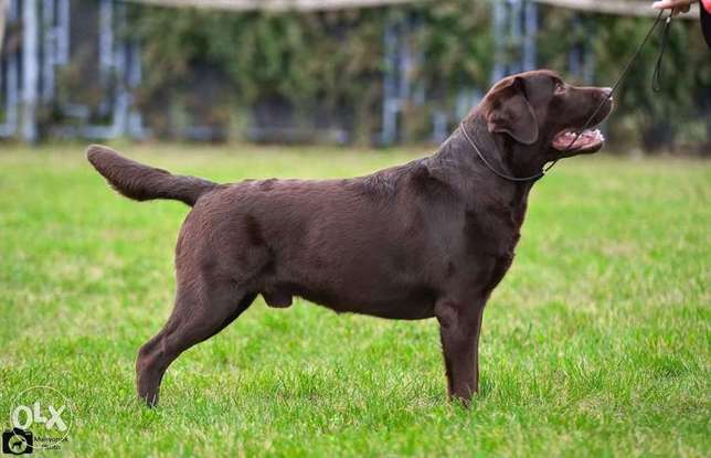 Imported chocolate Labrador puppies, FCI PEDIGREE..