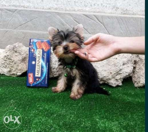 Yorkshire teacup puppies imported from Ukraine
