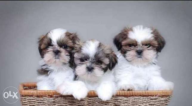Reserve ur imported shihtzu puppy with all documents, top quality