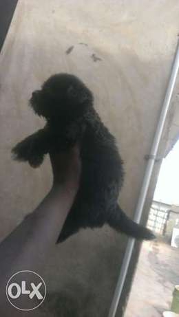 Black Lhasa available for Säle Lagos Mainland - image 1
