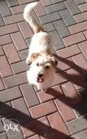 Jack Russell for sale (Long haired)