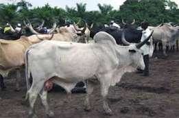 Cattle Brahman Nguni available