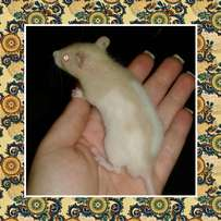 Hairless, Dumbo & Fancy Rat breeding set-up for sale urgently